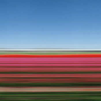 Travelling Still, Tulip Fields XIV